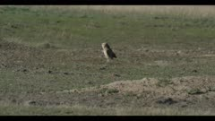 male burrowing owl looks around for enemies