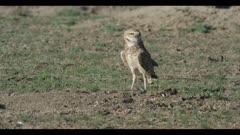 male burrowing owl looks around for enemies next to burrow walks to burrow calls close