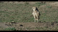 male burrowing owl flies to burrow looks around for enemies ritualistic bobbing close