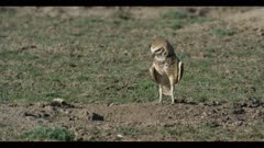 male burrowing owl walks to burrow and looks for female she is not there close