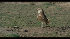 male burrowing owl looks around flies off close