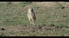 male burrowing owl flies to burrow lands looks around for enemies ritualistic bobbing close
