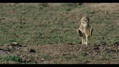 male burrowing owl standing sleeping next to burrow wakes up looks around for enemies close