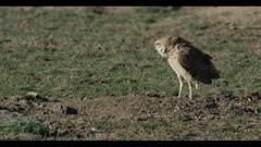 male burrowing owl standing next to burrow looks around for enemies thinks he is a tough ass close