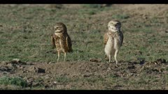 female on left and male burrowing owl standing preening looks around for enemies close