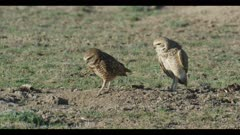 female on left and male burrowing owl standing preening looks around for enemies females walks into burrow close