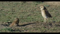 female in burrow looking and male burrowing owl standing looks around for enemies ritualistic bobbing close