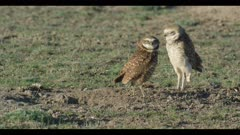 female in burrow scratching and male burrowing owl standing looks around for enemies female comes out of burrow and stands next to male close