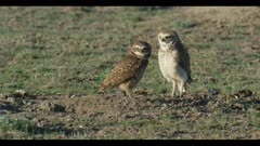 female and male burrowing owl standing next to burrow looks around for enemies scratching preening close