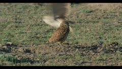 female and male burrowing owl standing next to burrow looks around male flies off close