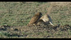 female burrowing owl standing next to burrow male flies in looks around for enemies close