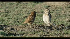 female and male burrowing owl standing next to burrow female flies off male looks for enemies close