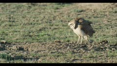 male burrowing owl standing next to burrow looks around for enemies female lands and looks around with him close