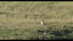 horned lark cropped walking wide