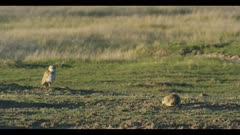 male burrowing owl and prairie dog focus pull wide