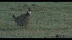 male greater prairie chicken display boom walk predawn close