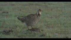 male greater prairie chicken standing on cow patty walks to another cow patty predawn