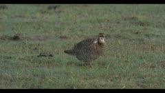 male greater prairie chicken dawn