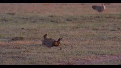 male greater prairie chicken display boom dawn first light