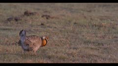 male greater prairie chicken call display boom walks to cow patty dawn first light close