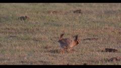 2 male greater prairie chicken call display boom dawn first light