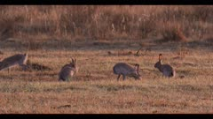 group of jack rabbits run stop run past prairie chicken first light dawn
