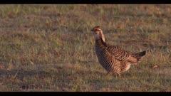 male greater prairie chicken walking in nice light display boom dawn first light