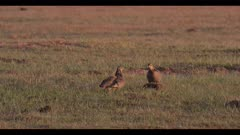 2 male greater prairie chickens 1 gets on cow patty and rocks display dawn first light