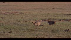 2 male greater prairie chickens 1 on cow patty thens walks off displaying dawn first light