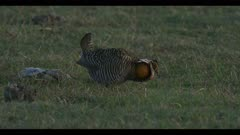 male greater prairie chicken on cow patty walk display boom call dawn first light