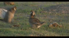 2 male greater prairie chickens display boom call nice light dawn first light close