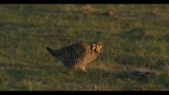 male greater prairie chicken walks on to cow patty walk display boom dawn first light