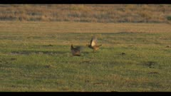 2 male greater prairie chickens jump up fierce display boom call dawn first light wide