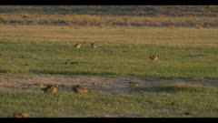 5 male greater prairie chickens display dawn first light wide