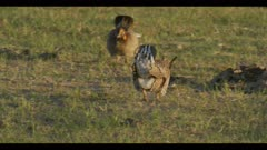 1 then 2 male greater prairie chickens display boom call dawn first light