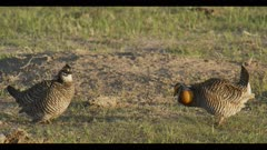 2 male greater prairie chickens display boom call dawn first light wide