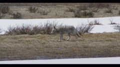 coyote yawning surrounded by spring snow short