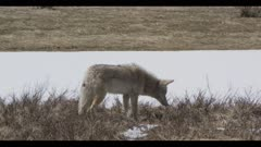 coyote hunting listening for mouse surrounded by spring snow