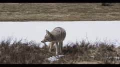 coyote hunting surrounded by spring snow