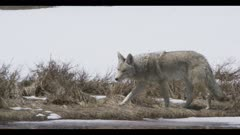 coyote hunting walking looking turn surrounded by spring snow close