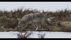 coyote hunting walking catches vole chews surrounded by spring snow