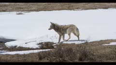 coyote hunting watching surrounded by spring snow