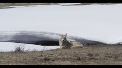 coyote sitting down looking spring snow
