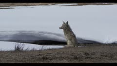 coyote sitting looking spring snow