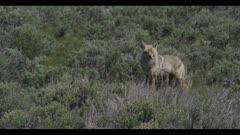coyote looking walking in sage brush