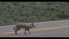 coyote looking walking in sage brush across road car