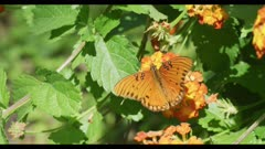 Gulf coast fritillary on Texas lantana flies