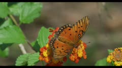 Gulf coast fritillary on Texas lantana close