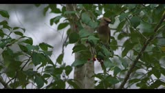 cedar waxwing in holly tree eating berries short