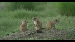 baby prairie dogs at den close